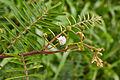 Mimosa pudica-IMG 0740.JPG