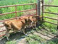 Miniature cattle - Jersey.jpg
