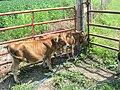 Miniature cattle - Jersey.jpg