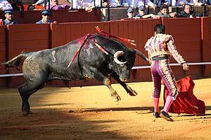 Miura bull - A Miura bull charges at matador El Fundi at the Seville bullring