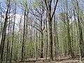 Mixed forest NE-Germany.JPG