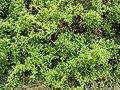 Mliles Rhamnus alaternus.jpg