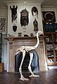 Model Moa Skeleton at the Dunedin Museum of Natural Mystery (2019).jpg