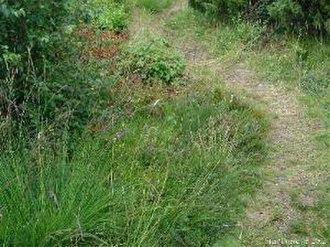 Molinia caerulea - Image: Molinia caerulea