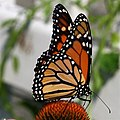 Monarch butterfly - Butterfly Place in Westford, Massachusetts.jpg