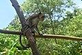 Monkey at Mt. Isarog, Cam Sur.jpg