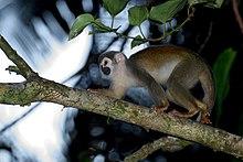 Mono ardilla - Saimiri sciureus.jpg