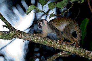 Common squirrel monkey Species of mammal