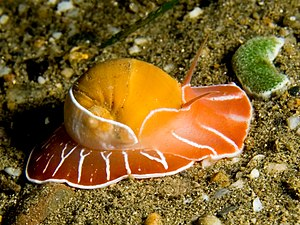 Naticidae - A moon snail (Naticarius orientalis) on the prowl at night. Found on the north coast of East Timor.