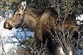 Moose (14253192993).jpg