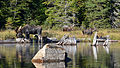 Moose (Alces alces), Female, Male, and Juvenile - Algonquin Provincial Park, Ontario.jpg