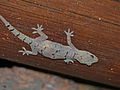 Moreau's Tropical House Gecko (Hemidactylus mabouia) (12751142834).jpg