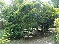 Morus alba Fegyverneken.jpg