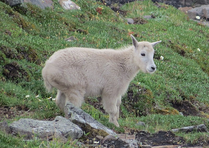 File:Mountain goat kid.jpg