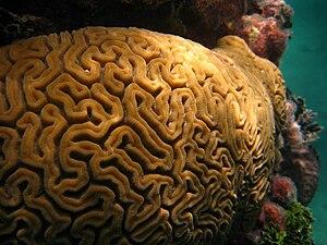 Brain coral - Image: Mozgovity koral