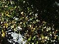 Muehlenbeckia axillaris 1zz.jpg