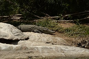Mugger crocodile (Crocodylus palustris) from Ranganathittu Bird Sanctuary JEG4019.jpg