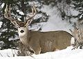 Mule buck elk creek f2 myatt (5489810838).jpg