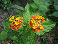 Multi-colored Wild Lantana Camara 5.JPG