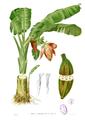 Musa troglodytarum Blanco1.89.png