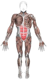 Sistema Muscular Wikipédia A Enciclopédia Livre