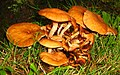 Mushrooms (2745604814).jpg