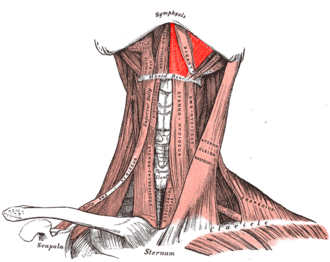 Mylohyoid muscle - Muscles of the neck seen from the front (mylohyoid muscle colored in bright red)