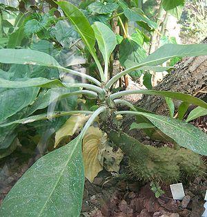 Myrmecodia - Myrmecodia platytyrea