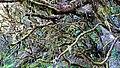 Mystical lichen forest (near Bica da Cana) (26318566359).jpg