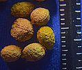 N20161126-0006—Comarostaphylis diversifolia ssp planifolia—RPBG (30892270600).jpg