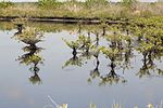 NASA Kennedy Wildlife - Mangroves at Wilson's Corner.jpg