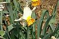 Narcissus Butterscotch 0zz.jpg