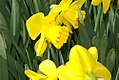 Narcissus Camelot 0zz.jpg