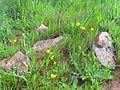 Narcissus bulbocodium Habitat 2011-4-02 CampodeCalatrava.jpg