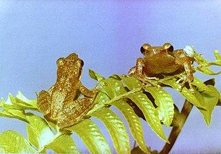 <i>Natalobatrachus bonebergi</i> Species of amphibian