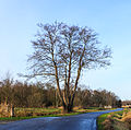 Nationaal Park Weerribben-Wieden. Meerstammige els (Alnus) 03.jpg