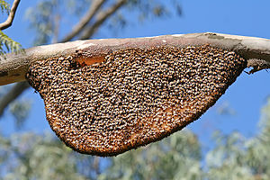 Beekeeping - Wild bees' nest, suspended from a branch