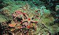 Necklace Seastar (Fromia monilis) (6062287904).jpg