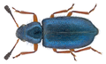 Necrobia rufipes (DeGeer, 1775) (16154470895).png