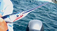 Needlefish.jpg