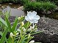 Nerium oleander 20180921 141814.jpg