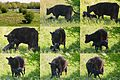 Newborn Galloway (hornless cows) babycow that tries to stand upright at Nature park Meinerswijk at the Rhine river foreland Arnhem - panoramio.jpg