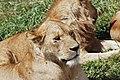 Ngorongoro 2012 05 30 2602 (7500980108) (2).jpg
