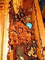 Ninho de Melipona mandacaia em caixa racional.jpg