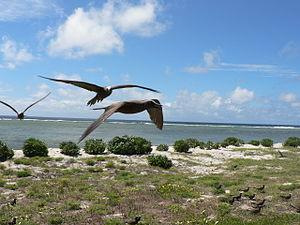 Lady Elliot Island - Black noddies on Lady Elliot Island