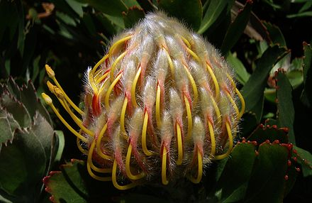 Nodding Pincushion Protea Flower Bud.jpg
