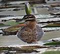 Nomonyx dominicus Pato enmascarado Masked Duck (female) (11337404235).jpg