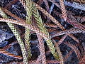 Norfolk Island pine leaves (3394688520).jpg
