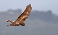 NorthernHarrier-1APR2017.jpg