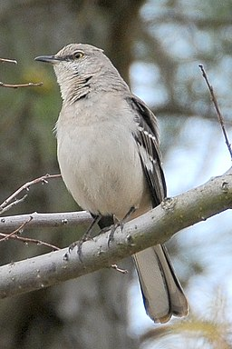 image of a Northern Mockingbird